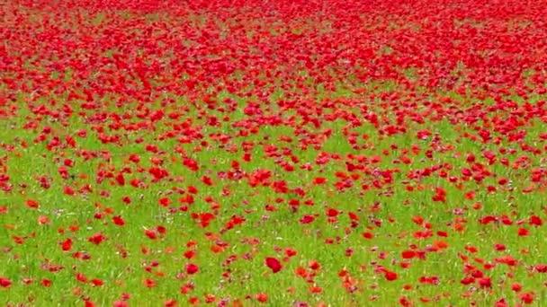 virág meadow piros pipacs mező szeles napon