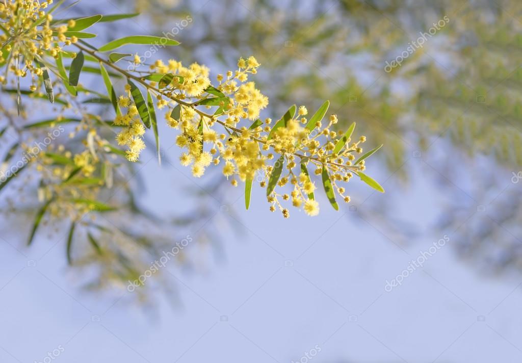 Australian yellow spring flowers acacia fimbriata brisbane golde australia winter and spring yellow wildflowers acacia fimbriata commonly known as the fringed wattle or brisbane golden wattle photo by sherjaca mightylinksfo