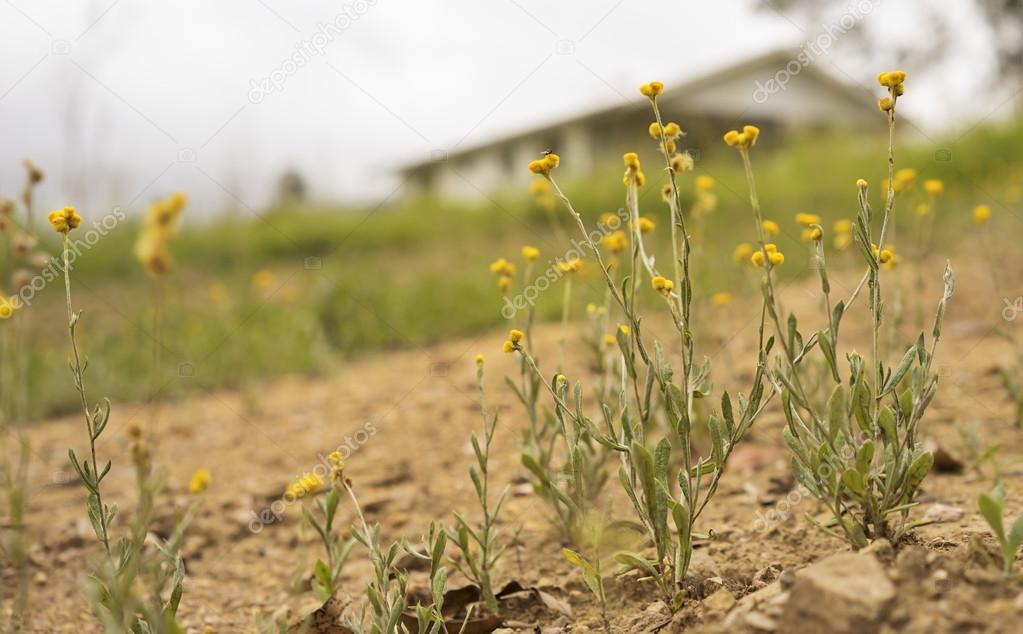 Australian wild flowers landscape background yellow Billy Button