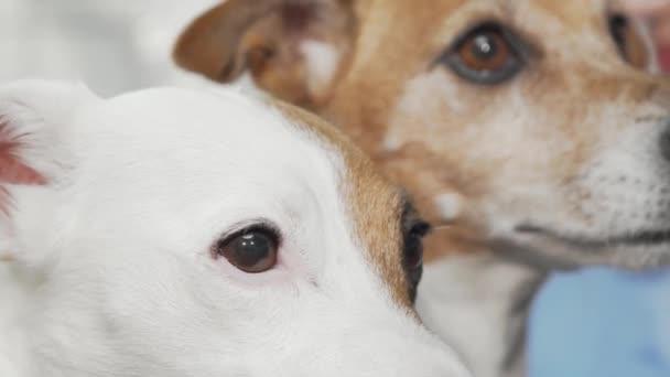 Schnappschuss von zwei entzückenden Jack Russell Terriern