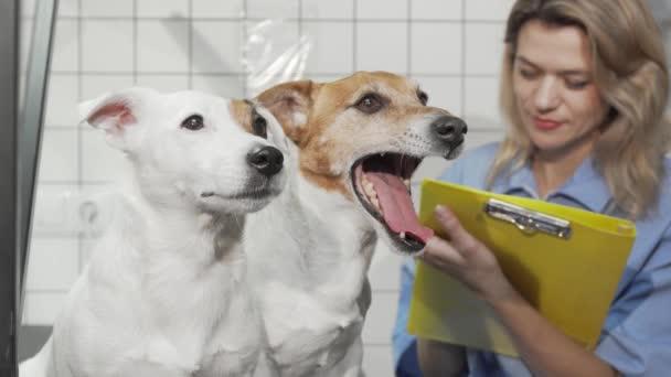 Entzückende Jack Russell Terrier Hunde auf dem Untersuchungstisch in der Tierklinik