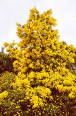 Retro vzhled Mimose květ
