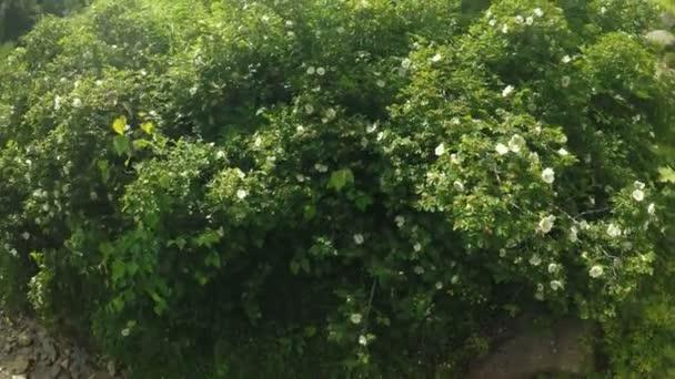 Kvetoucí keře divoká růže