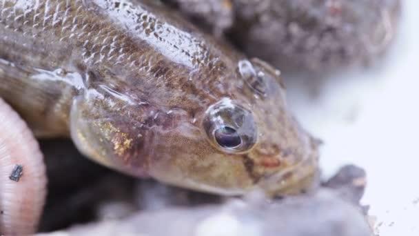 élő halakkal