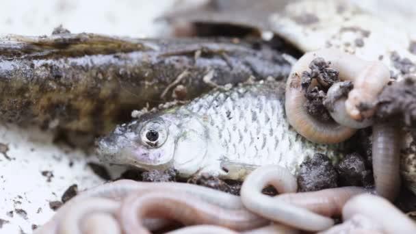 živé ryby