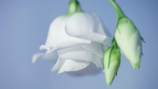 Jemné bílé růže bud
