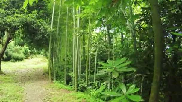 Listokolosnik pubescent bamboo