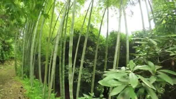 Listokolosnik pubertální bambus