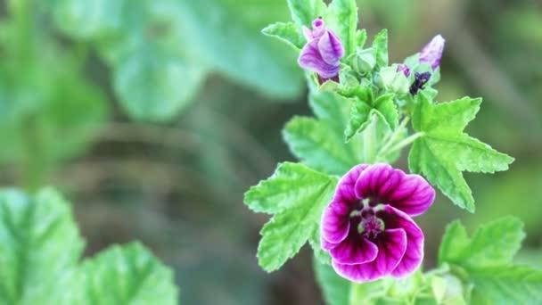 Dlouholetým Malvaceae