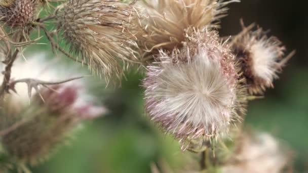 Fleur Du Chardon Fleur Seche Video Spstudiovideo C 86319572
