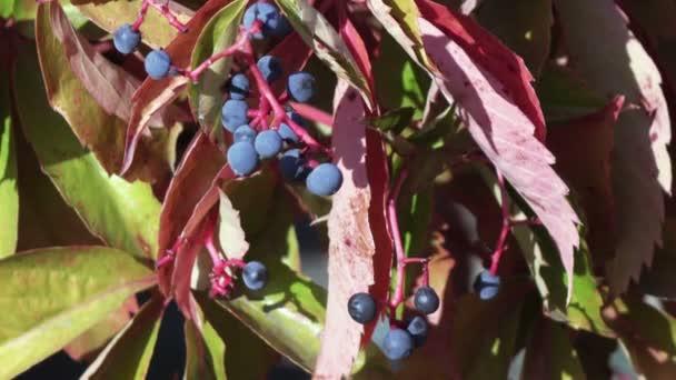 zralé hrozny na podzim