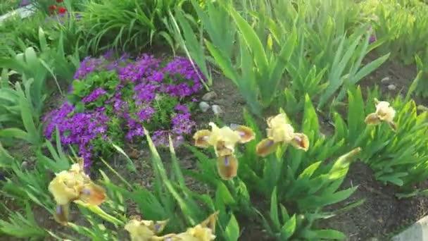 Rozkvetlé kosatce na přírodu