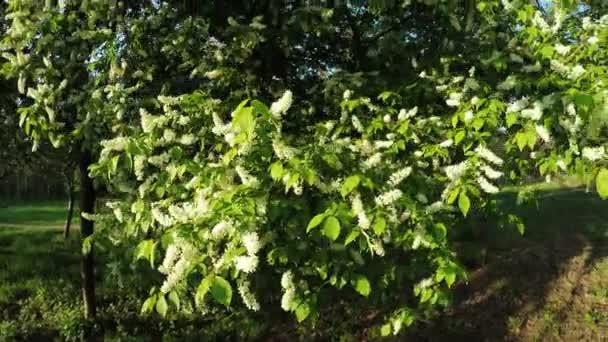 Kvetoucí Jasmín na přírodu