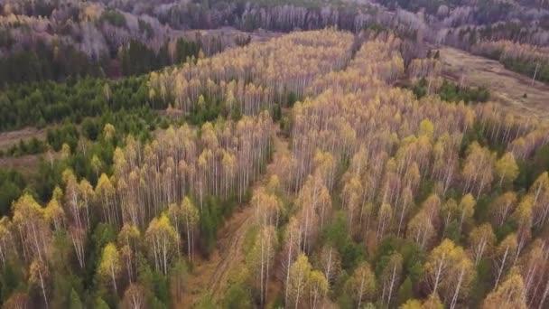 Letecký pohled na podzimní barvy ve smíšeném lese. Klip. Létání nad zelenými jehličnany a téměř holými břízami se žlutými vzácnými listy na vrcholu.