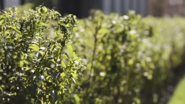 Geometricky oříznuté keře v okrasné zahradě městského parku za slunečného dne. Akce. Zblízka přírodní zelené listy krásných keřů houpající se ve větru.