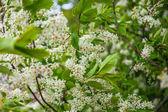 Střemchová kvetoucí