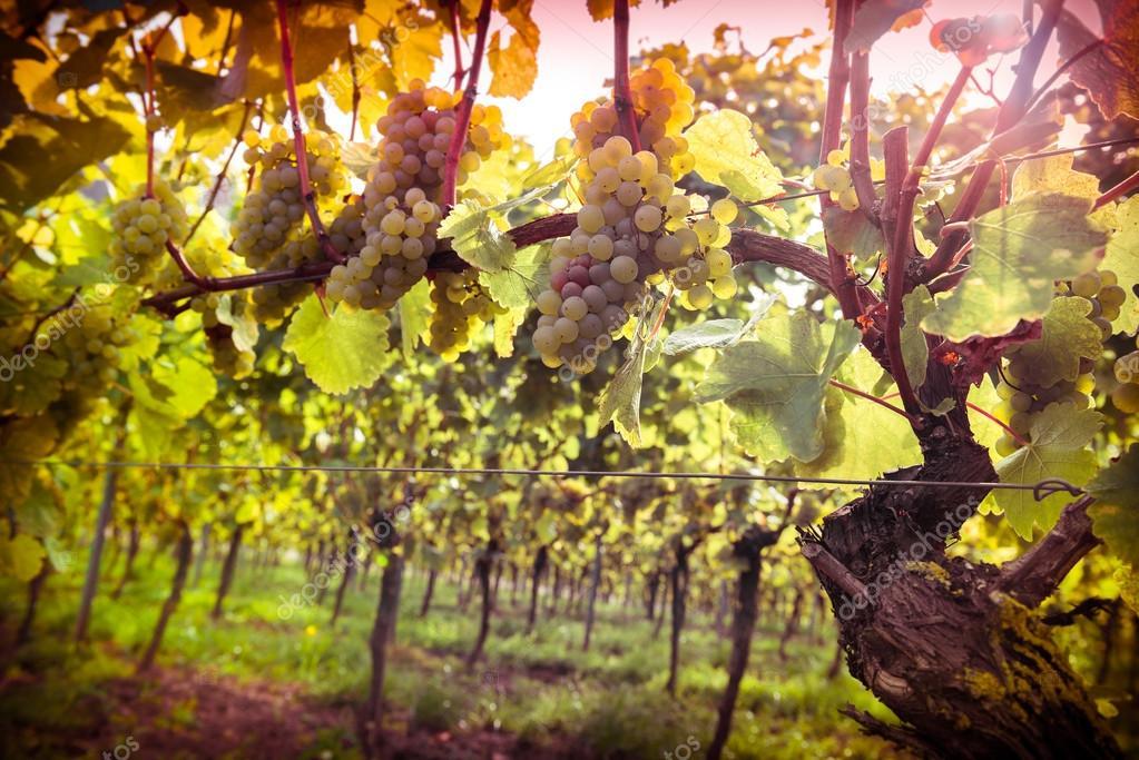 Vineyards at sunset