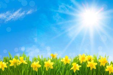 Daffodils against blue sky