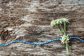 Fotografie Edelweiss flowers with Bavarian gift cord