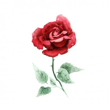 Watercolor hand drawn rose.