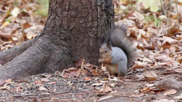 squirrel jumping on the branches of the tree gnawing on nuts and food in autumn forest