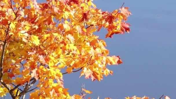 heller Herbst-Ahorn blättert in einer leichten Brise