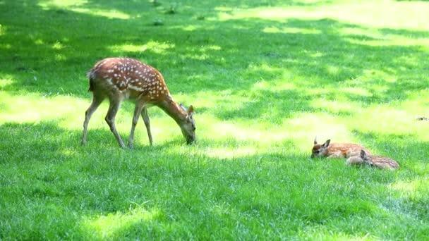 Stádo mladých jelenů leží a pasou se na trávě