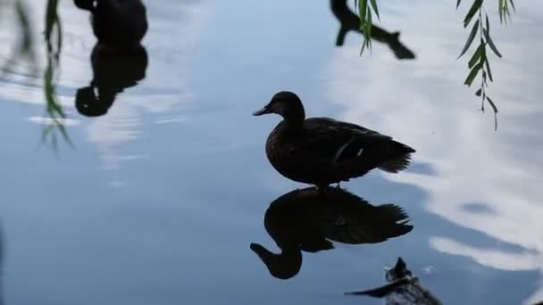 Wild duck on the water. Brown duck on the lake