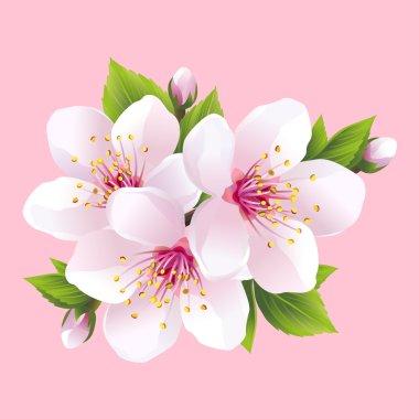 Branch of white blossoming sakura - japanese cherry tree