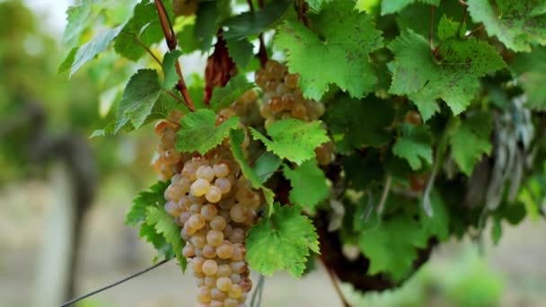 In the vineyard taking video closeup of organic growing grapes details taking with camera