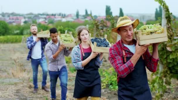 Karizmatikus és mosolygós öreg farmer és más vidéki emberek, akik a kamera előtt sétálnak a szőlőskertben, friss szőlővel teli fakosarat tartanak.