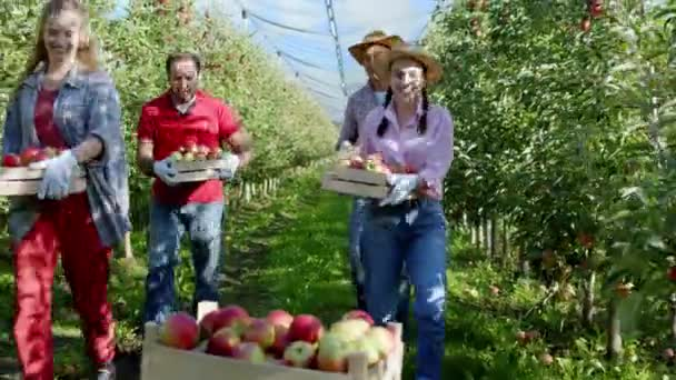 Charismatic with a large smile family farmer members happy end to collecting the harvest of this year In the middle of apple orchard they unload the apples on the boxes. 4k