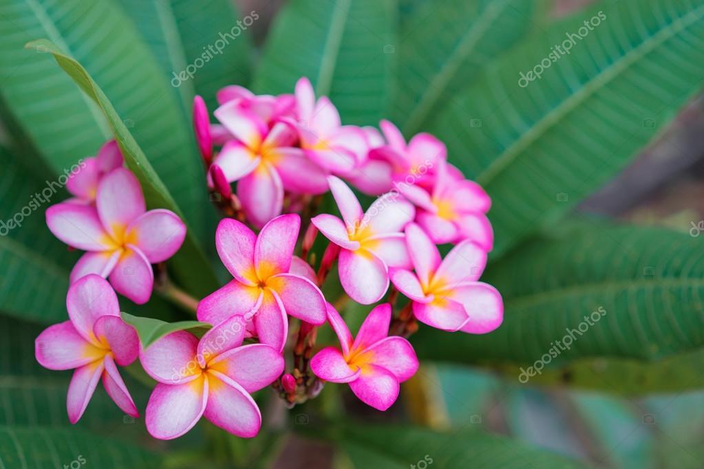 Pink plumeria flowers stock photo luengoua 98138056 close up of pink plumeria flowers photo by luengoua mightylinksfo