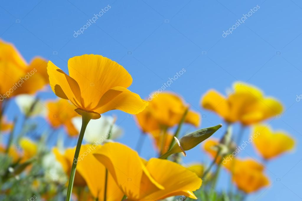 California golden poppies in spring
