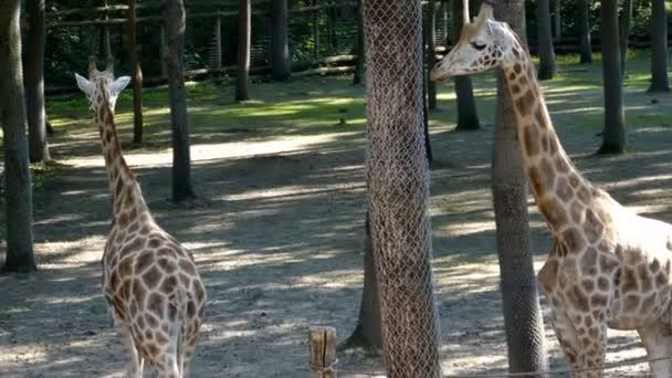 Žirafy a zebry v zoo