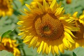 Retro vzhled na slunečnice