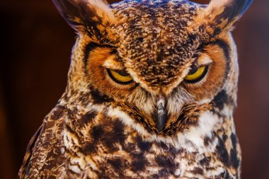 Great Horned Own