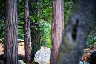 San Bernardino Forest Closeup Photo. Idyllwild, Pine Cove Mountains, California, USA. stock vector