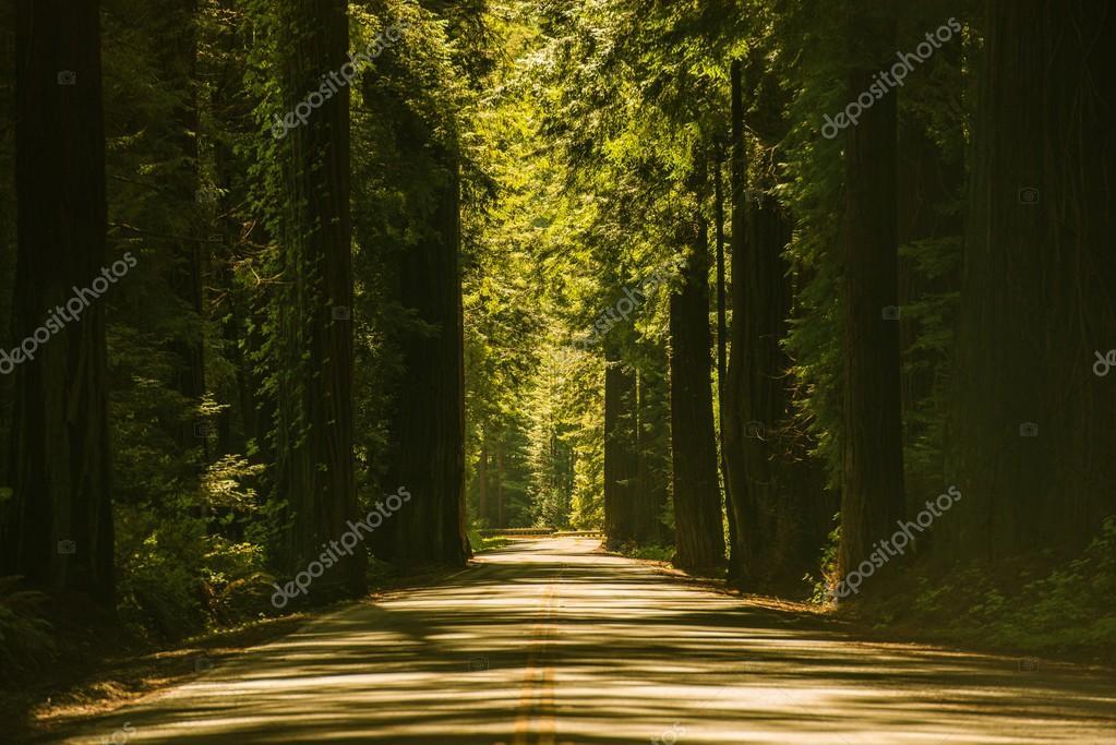 Фотообои Giant Redwood Trees Road
