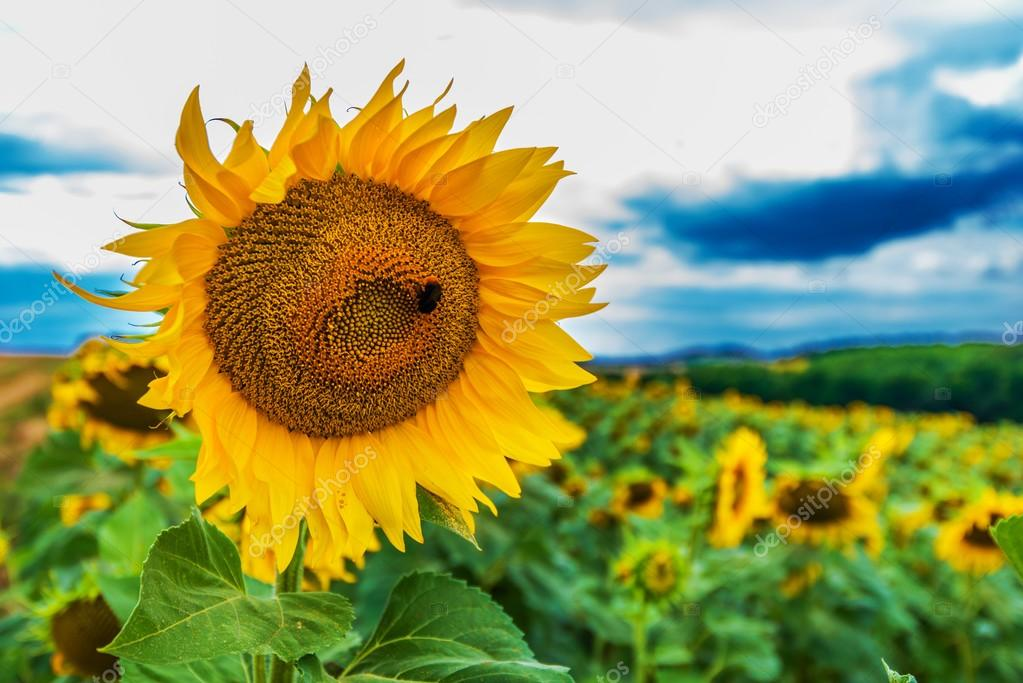 The Sunflower and Sunflowers Field.