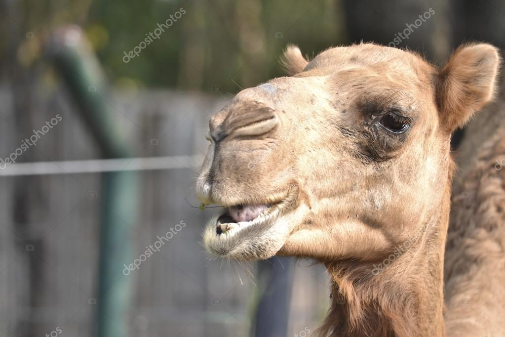 Brown Arabian Camel