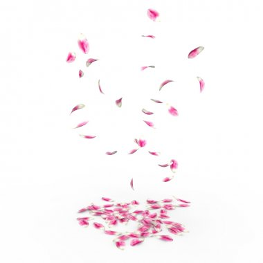 Tulip petals fall to the floor