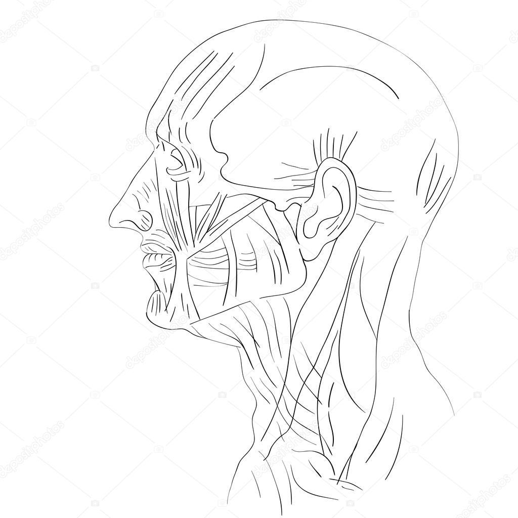 los músculos de la cabeza lateral — Fotos de Stock © richcat #118537610
