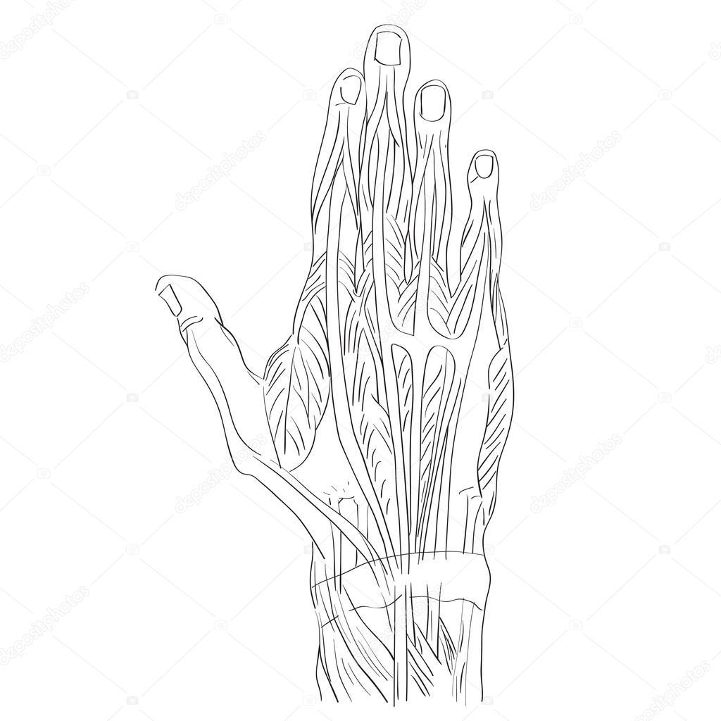 dorsale spieren van de hand — Stockfoto © richcat #118537626