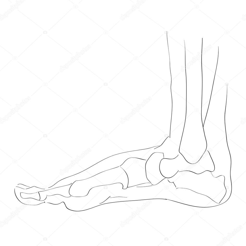 Innenansicht von seitlichen Fuß Knochen — Stockfoto © richcat #118537634
