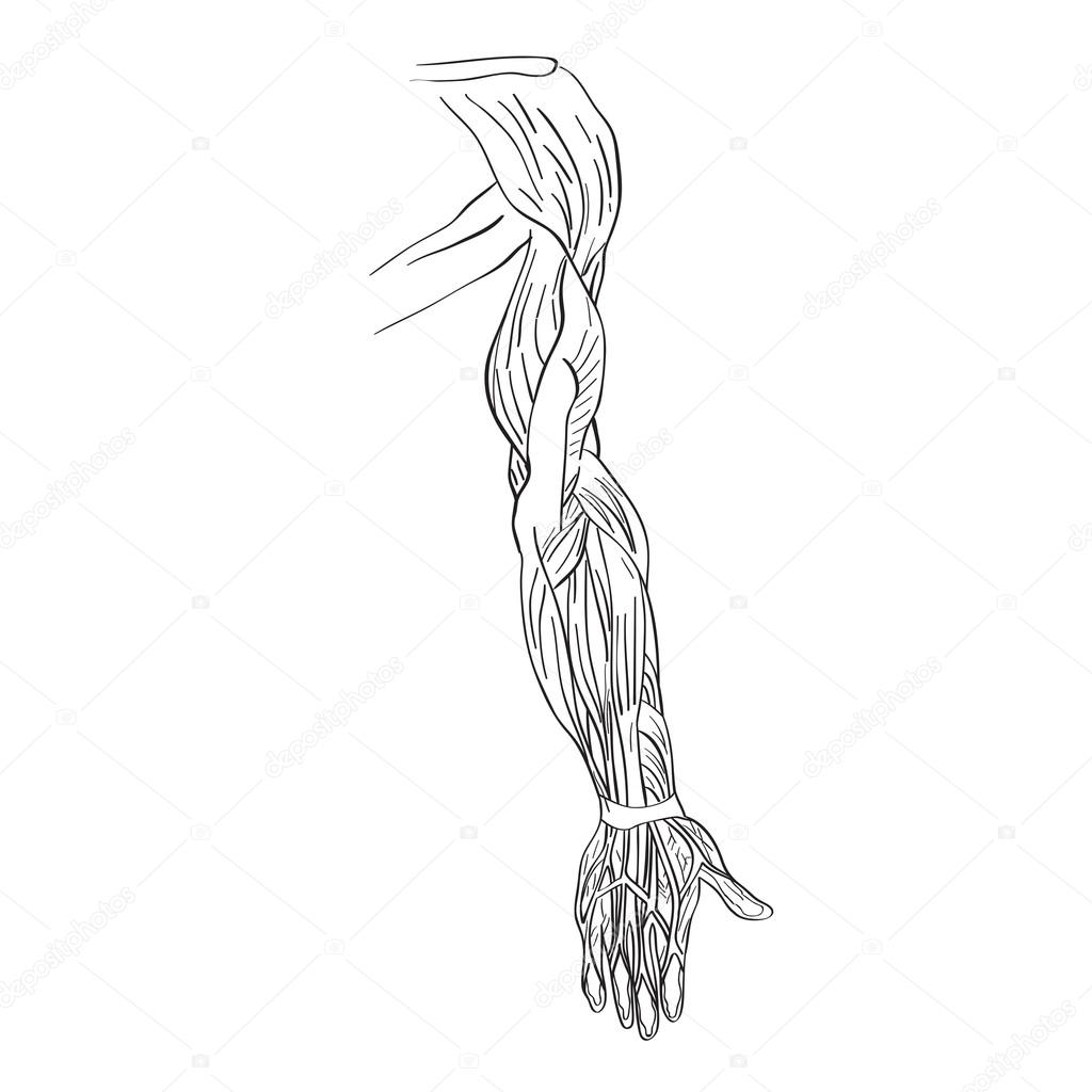 músculos del brazo humano — Fotos de Stock © richcat #118620444