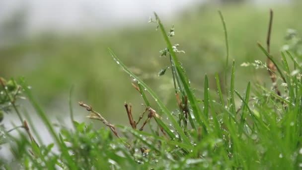 Krásné pole trávy, zblízka makro výstřel, kapky deště padající, původní ploché záběry