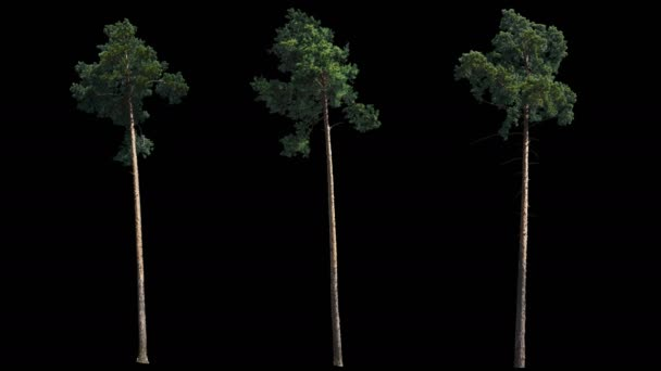 3 blowing on the wind beautiful green full size real siberian Pine trees