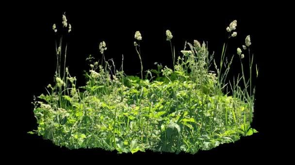 Krásný kousek z vysoké trávy, foukání větru, izolované na alfa kanál