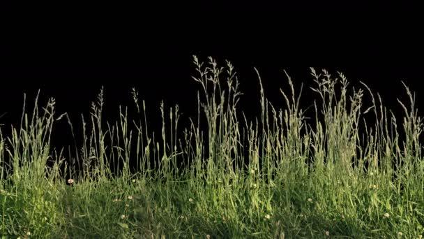 Krásné vysoké dlážděnou tráva střílel, foukání větru, izolované na alfa kanál